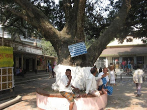 Photo: The spectacular mango tree providing cool shadows to the visitors on the way to the main temple and shrine