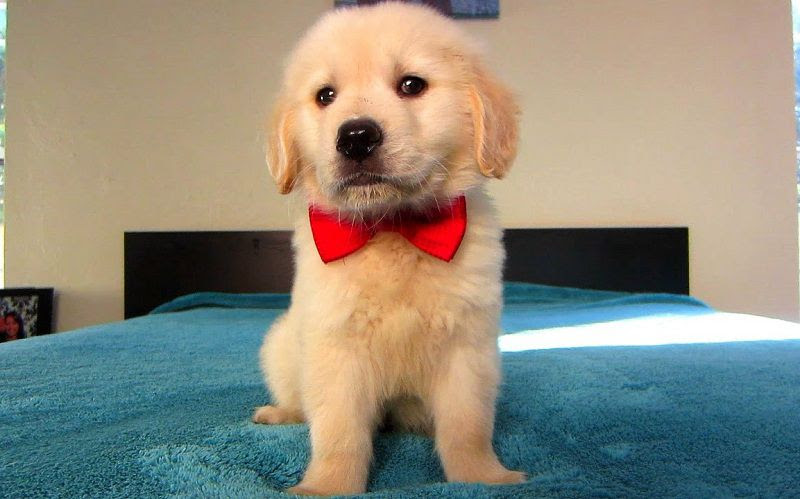 Golden Retriever Puppies Price Range How Much Does A Golden Cost