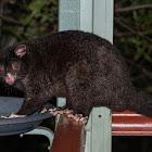 Short-eared Mountain Possum