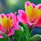 6 peru lily.jpg