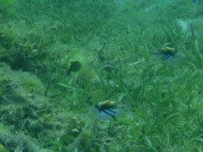 Photo: Rhinecanthus aculeatus (Picasso Triggerfish), Siquijor Island, Philippines
