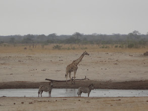 Photo: Giraffe and zebras at the waterhole