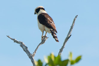 Photo: Laughing Falcon (Lachfalke); Rio Lagartos, YUC
