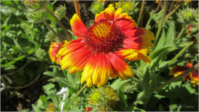 Photo: Fluturei Arizona Sun (Gaillarda Aristata Arizona sun) - de pe Str. Baladei - 2017.06.10