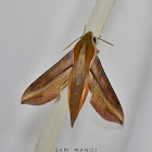 Macroglossine Sphinx Moth / Sphingid Moth