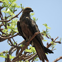 Black Kite/Fork-tailed Kite