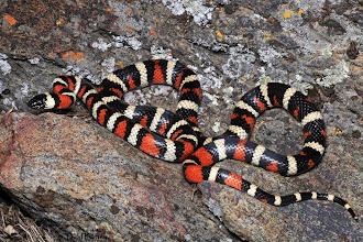 Photo: King Snake - Battey