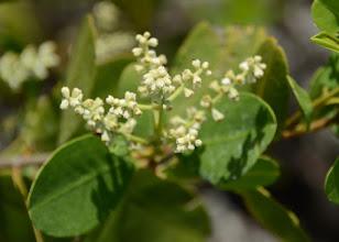 Photo: Florida Laguncularia racemosa