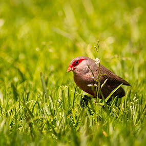 I see You by Malan Lombard - Animals Birds ( looking, bird, grass, feeding )