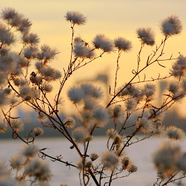 puffhead by Rux Georgescu - Nature Up Close Other plants ( herbs, sunset, puffy, plants, close-up )