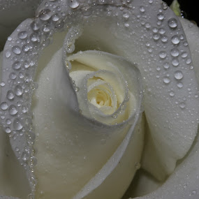 Purity by Lance Barrett - Nature Up Close Flowers - 2011-2013 ( water, rose, macro, flower, droplets )
