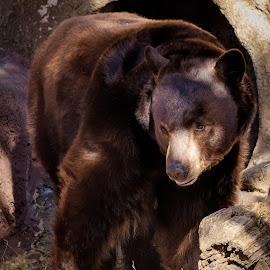Black Bear by Dave Lipchen - Animals Other ( black bear )