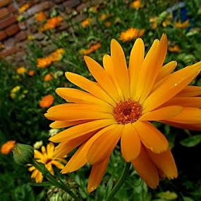 ..orange smile.. by Mirela Korolija - Nature Up Close Flowers - 2011-2013