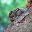 Northern palm squirrel / 5 striped squirrel