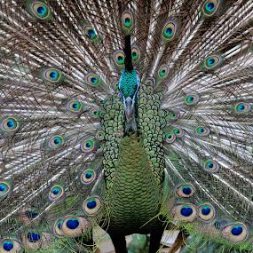 Dancing Peacock by Rudy Kurniawan - Animals Other