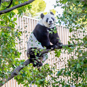 Pandamonium by Gary Pore - Animals Other Mammals ( out on a limb, panda, climbing tree, bear )