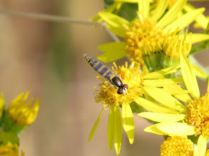 Photo: 17 Jul 13 Priorslee Lake Interesting small red-eyed hoverfly feeding avidly in the Common Ragwort. My expert tells me it is a female Sphaerophoria sp. (Female Sphaerophoria can't be identified in most cases). (Ed Wilson)