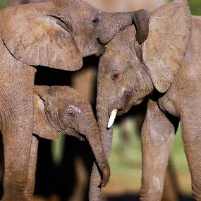 Loving Elephants. by Linda Jansen van Rensburg. - Animals Other Mammals ( elephant family, loving elephants. elephants )