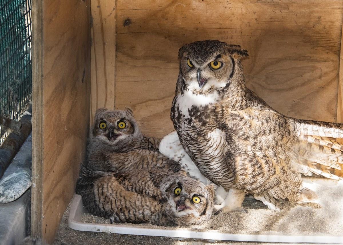 Ulie - Great Horned Owl
