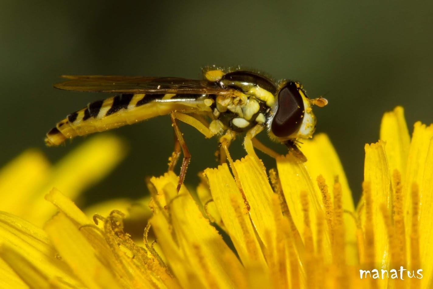sirfido en flor amarilla