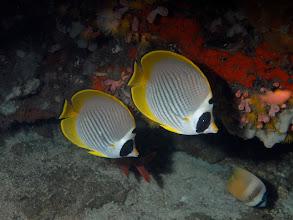 Photo: Panda Butterflyfish - Chaetodon adiergastos