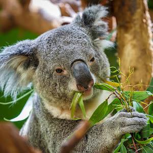 koala-8.jpg