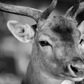 deer by M. Andersen - Black & White Animals