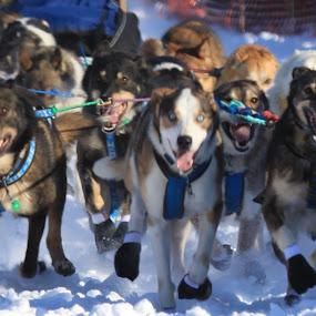 Running is Teamwork by Denise Parker - Animals - Dogs Running