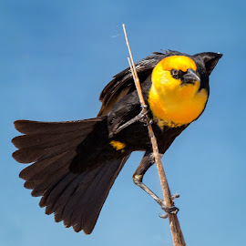 Yellow-headed Blackbird by Dave Lipchen - Animals Birds ( yellow-headed blackbird )