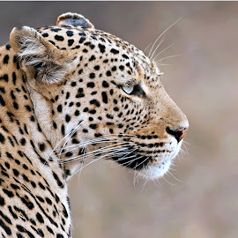 Leopard by Pieter J de Villiers - Animals Lions, Tigers & Big Cats