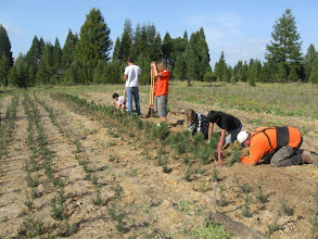 Photo: Older seedlings are transplated to the tree farm and new seedlings added to the nursery