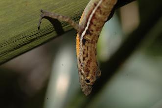 Photo: Norops polylepis 2, Esquinas Rainforest (8:42/-83:12), 24-05-2006, Author: Erwin Holzer, det. Gerardo Chaves