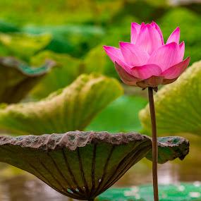 Lotus Flower. by John Greene - Flowers Single Flower ( macro, lotus, nature, thailand, john greene, flower )