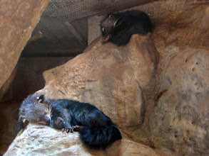 Photo: These 2 Binturongs (Asian Bearcats) are also fast asleep.