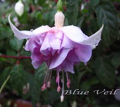 Photo: Blue Veil