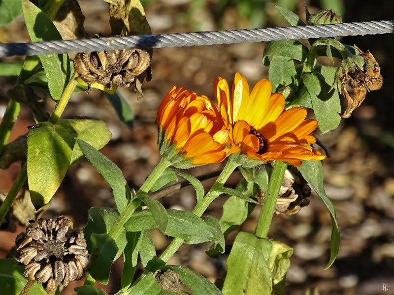 2019-01-02 LüchowSss Garten (3) Ringelblume (Calendula officinalis)