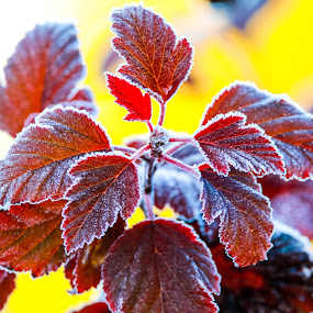 Frosty leaves by Chad Roberts - Nature Up Close Leaves & Grasses ( red, fall colors, fall, frost, leaves,  )