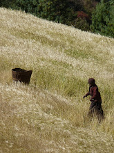 Photo: Barley harvest - the heads are stripped off between parallel sticks.