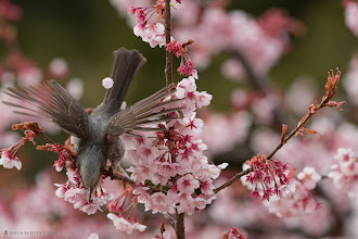 Photo: One of my first shots with the new Canon EOS 5D Mark III. This is a Brown-eared Bulbul taking flight.