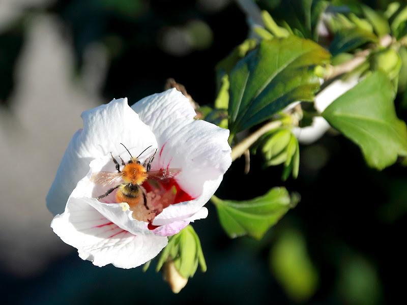 Ape su fiore Ibisco di Sierra0394