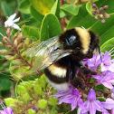 European Bumblebee