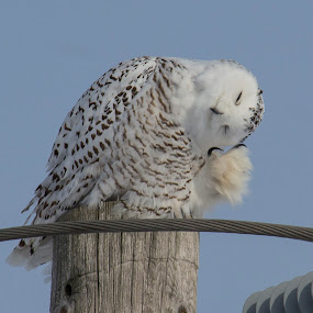 snowy owl/harfang des neiges by Patrick Robert - Animals Birds ( harfang des neiges, owl, hiboux, snowy owl,  )