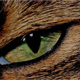 Cats eye by Marissa Enslin - Animals - Cats Portraits (  )