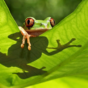 Silhouette Frog by David Knox-Whitehead - Animals Amphibians ( frog, silhouette, green, shadow, tree frog, amphibian )