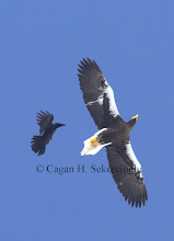 Photo: Steller's Sea-eagle mobbed by a raven