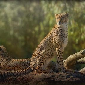 Cheetah Pair by Jim Merchant - Animals Lions, Tigers & Big Cats ( cheetah, big cats, fur, wildlife, magestic )