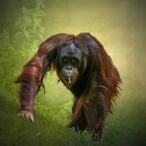 Comin Atcha by Tracy Riedel-Dorsch - Animals Other Mammals ( orangutan, atlanta zoo, wildlife,  )