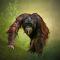 orangutan digimarked.jpg