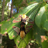 Mating Hummingbird Clearwing moths!
