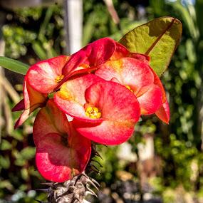Tomohon Flowers by Rizal Pungus - Flowers Single Flower